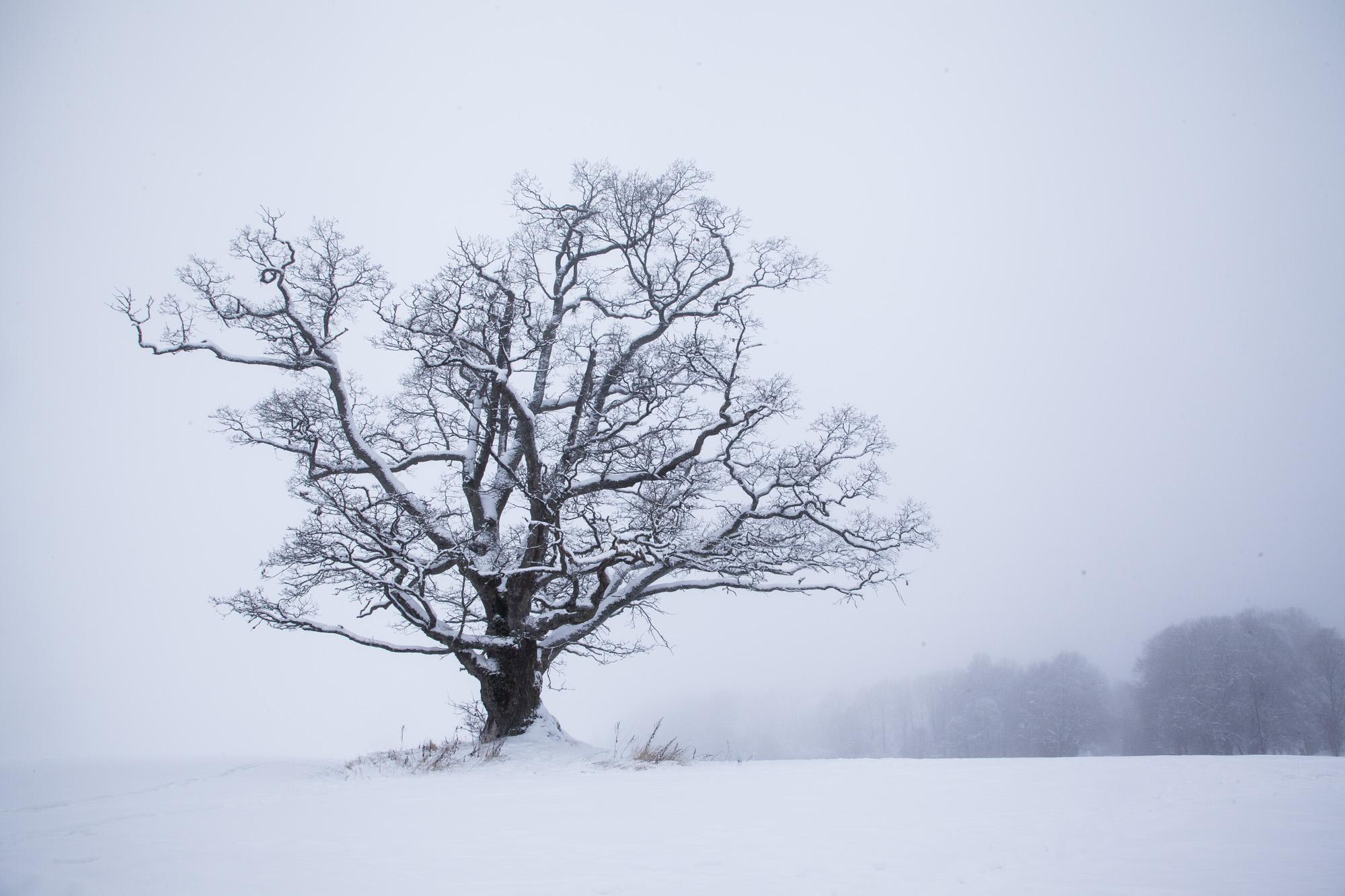 033 - Ås-eika i vinterkulde